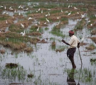 Man, ricefields, Kumarakom